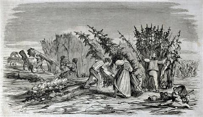 Black and white etching of early American colonists harvesting hemp