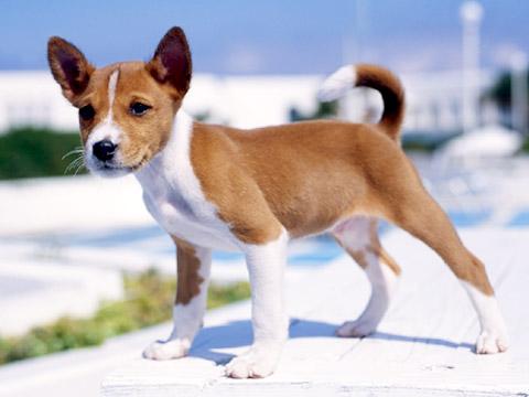 The Dog In World Basenji Dogs