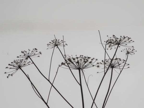 koiranputki talvi mustavalkoinen valokuva