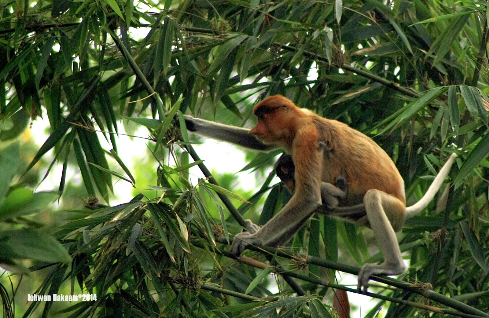 bekantan, proboscis monkey, south kalimantan, indonesia, wild indonesia