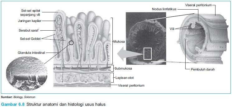 Dian Husada Anatomi Sistem Pencernaan Anatomi Usus