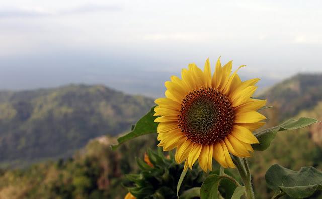 Bunga Matahari Menghiasi Wisata Kebun Teh Nglinggo Samigaluh