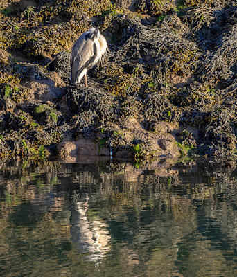 Photo of the heron taking a rest from fishing