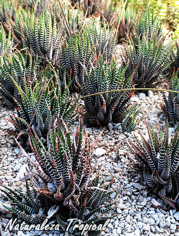 Mesa de cultivo de Haworthia fasciata