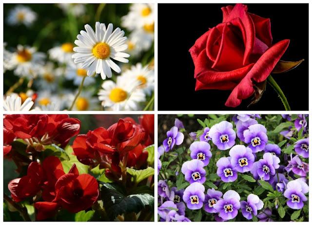 Margarita, rosa, begonias, violetas