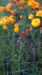 Aksamitki wabią motyle