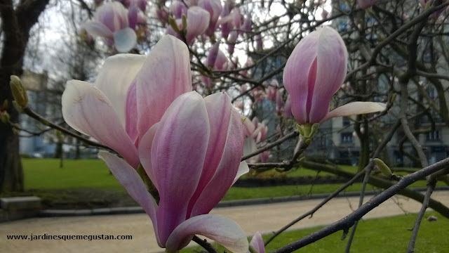 Flor de Magnolia x soulangeana