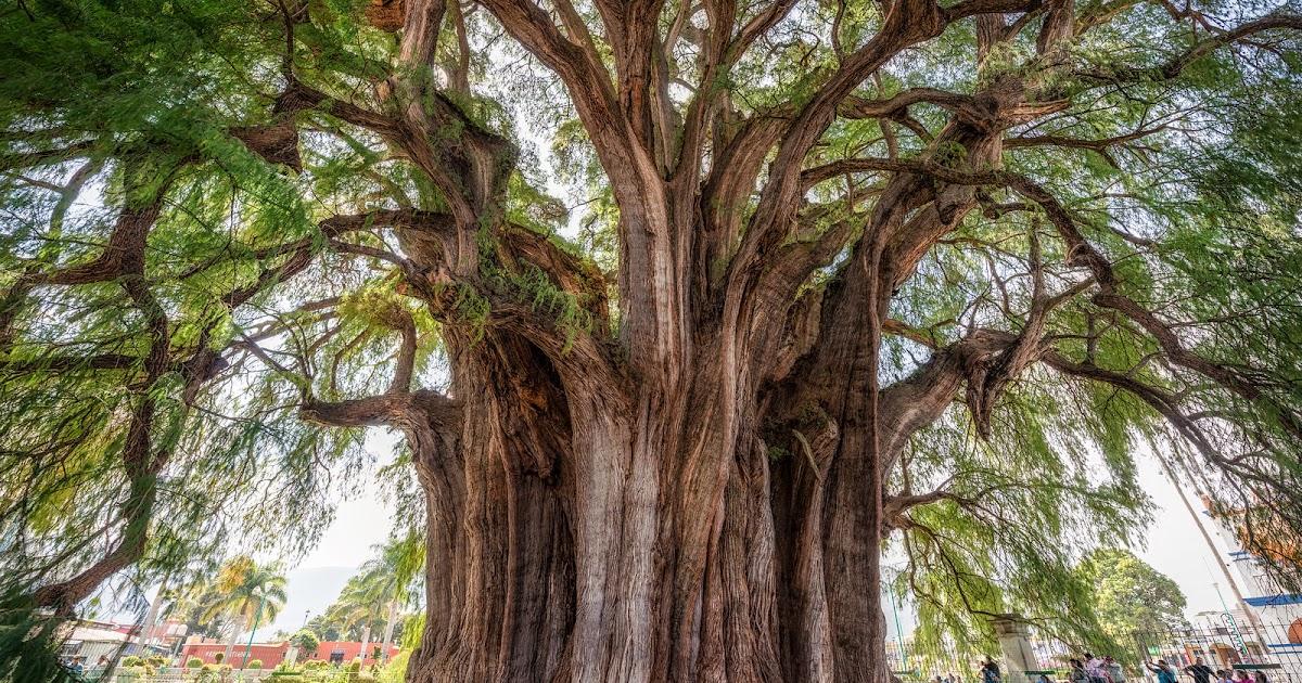 Árbol del Tule de Oaxaca (Datos y Leyenda) - Vive Oaxaca - Julio ...