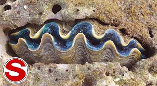 Gambar Kima Raksasa (Tridacna gigas)