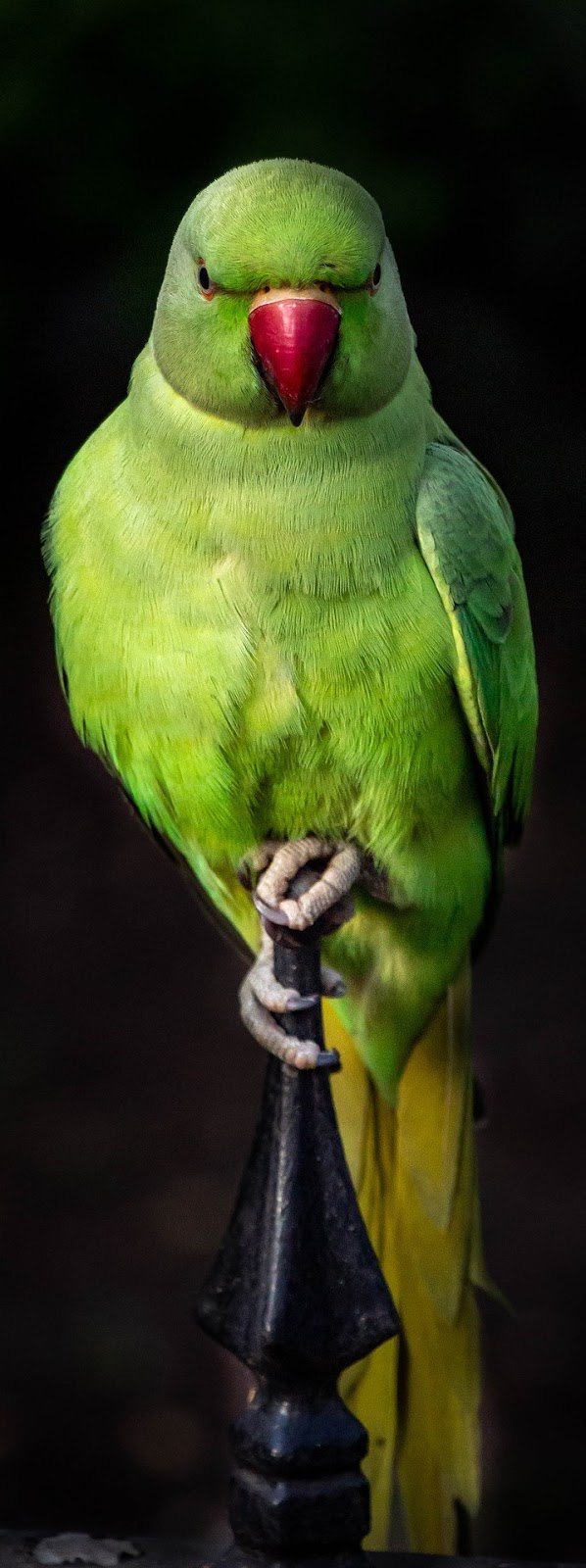 Picture of a parrot.