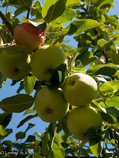 Mantet apples