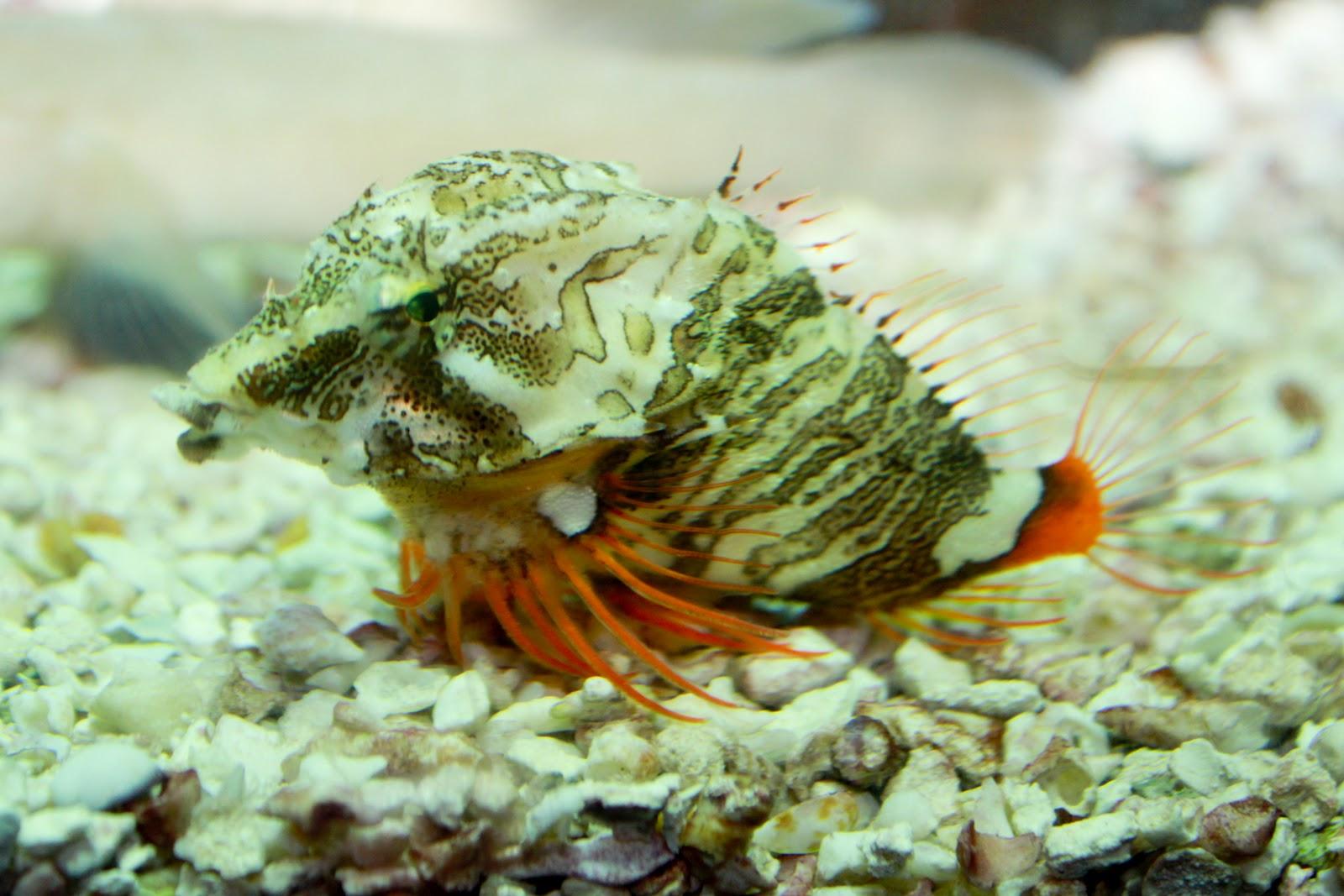 Grunt Sculpin | Life of Sea
