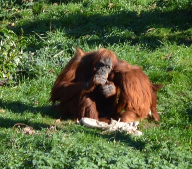 Tips for Visiting Chester Zoo from Newcastle - Orangutans eating fruit