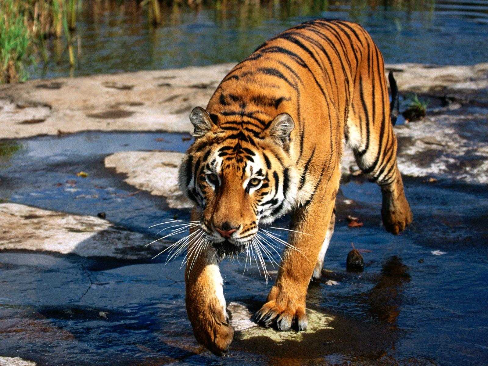 Tiger | The Biggest Animals Kingdom