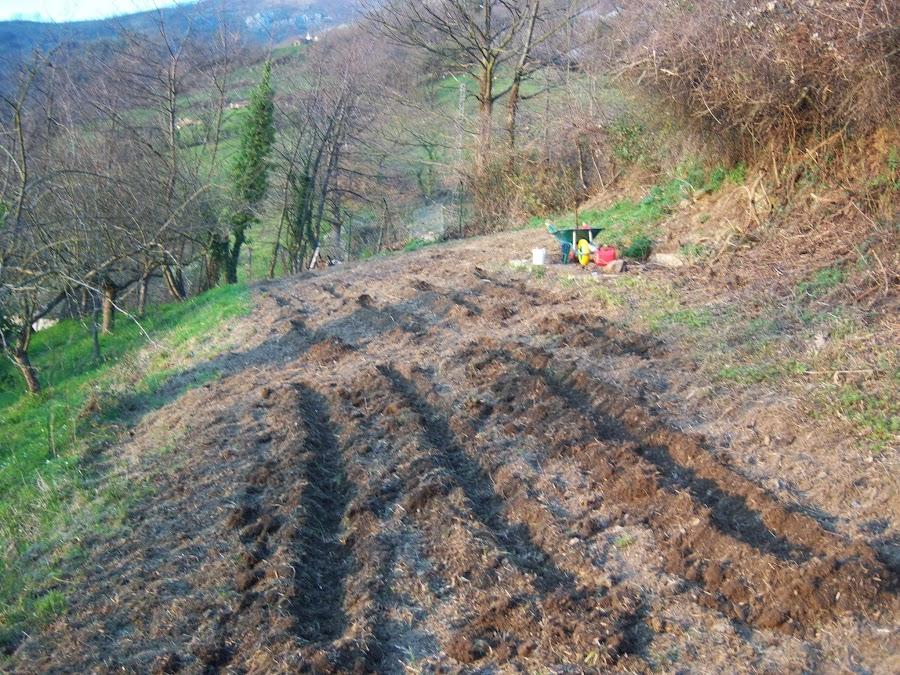 Una vez eliminado las malezas, aramos toda la tierra y preparamos las eras para sembrar las patatas.