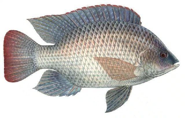 Pengertian Ikan Nila