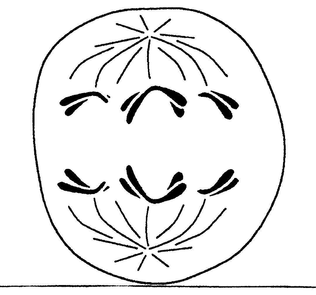 Biologia Saint Margaret School Ciclo Celular Y Mitosis