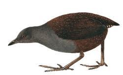 Laterallus spilonota