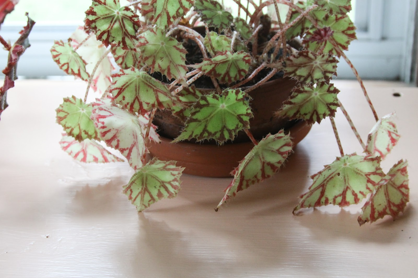 Geraniums Are So Easy to Grow