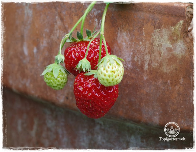 Gartenblog Foodblog Topfgartenwelt Dickmaulrüssler bekämpfen: Erdbeeren