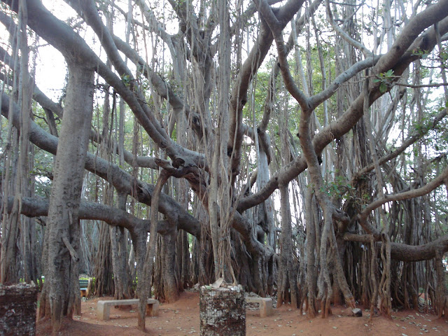 Big-Banyan-Tree-Bangalore