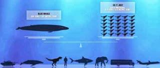 perbandingan ukuran paus biru