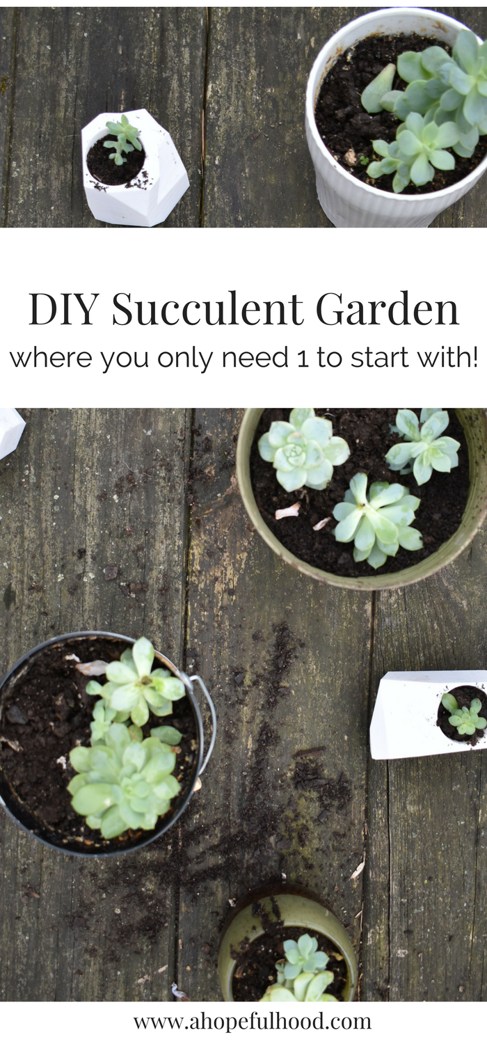 DIY Succulent Garden // a step-by-step guide of how to grow more succulents from one plant!