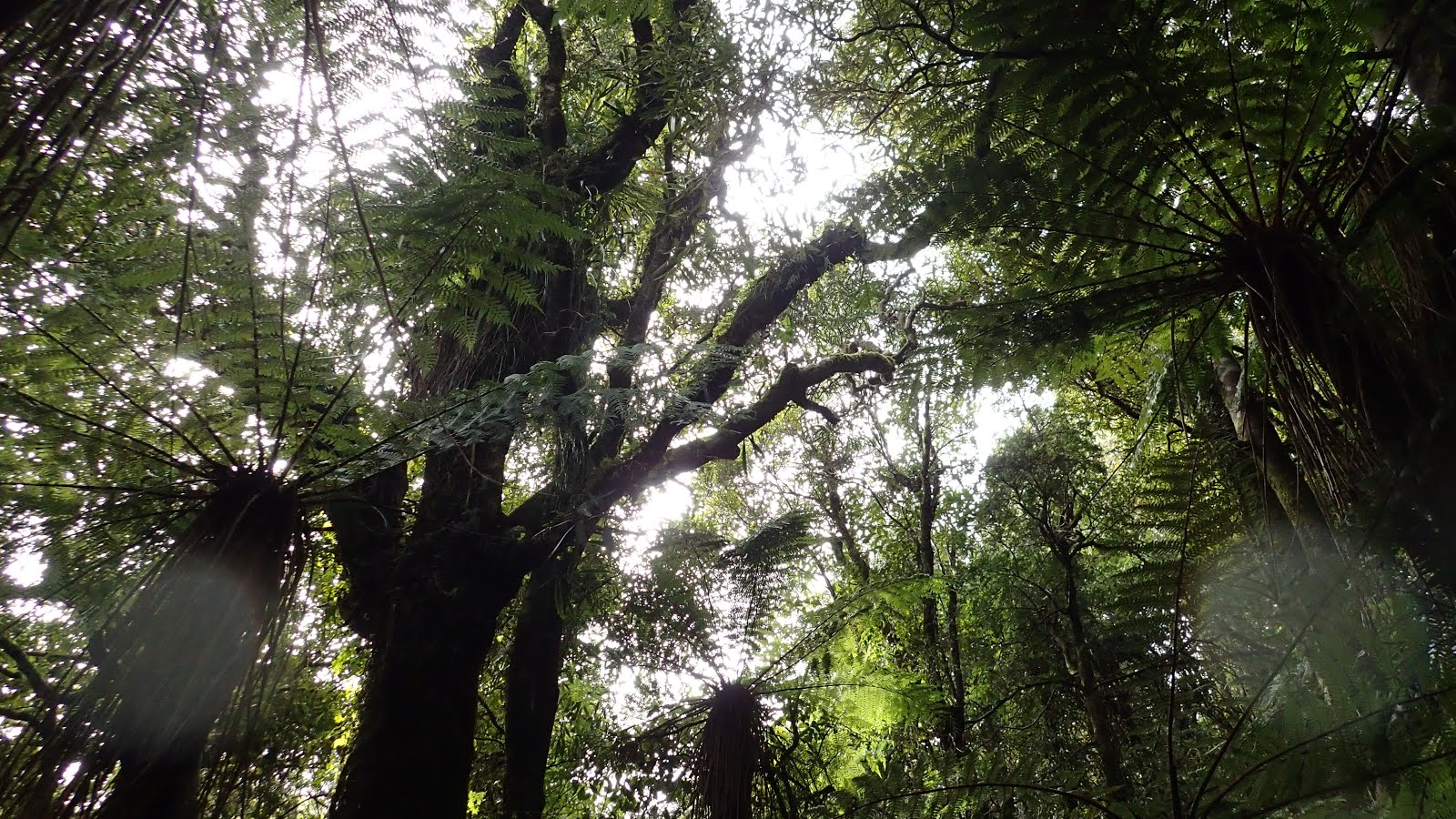 Pukaka walk: Ferns and trees and raindrops