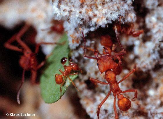 hormigas cultivando hongos