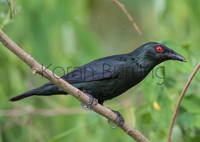 Nama aslinya yaitu burung perling kumbang  Cara Merawat Burung Camperling Atau Cucak Keling Agar Cepat Gacor