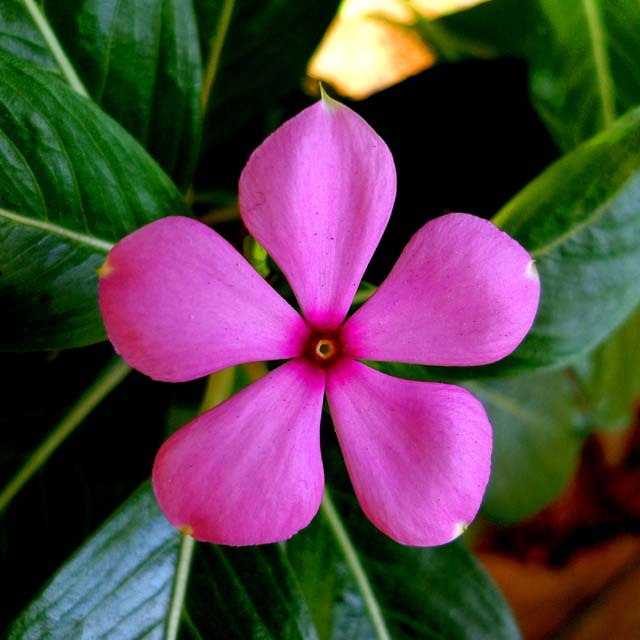 madagascar rosy periwinkle flower pink