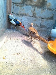 Lady Amherst's Pheasant Dewasa