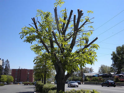 By Arboriculture Services Avoid Mistakes Tree Pruning & Trimming