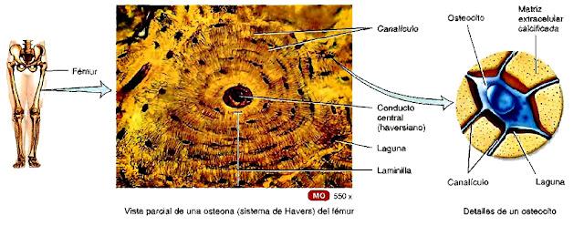 Osteona del fémur