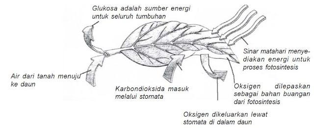 Proses Fotosintesis pada Daun