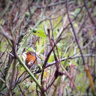 robin in rose bush
