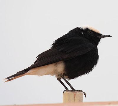 Collalba negra de Brhehm (Oenanthe leucopyga)