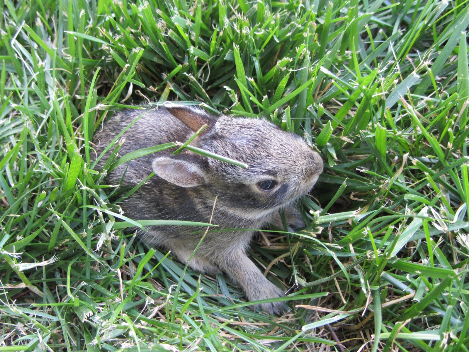 Paper Cut Screams by Cheryl: Baby Bunnies In My Backyard