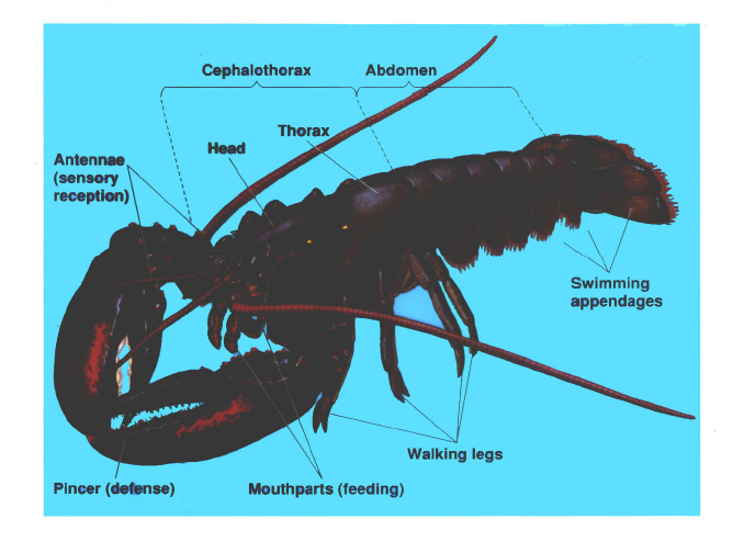 external anatomy arthropoda