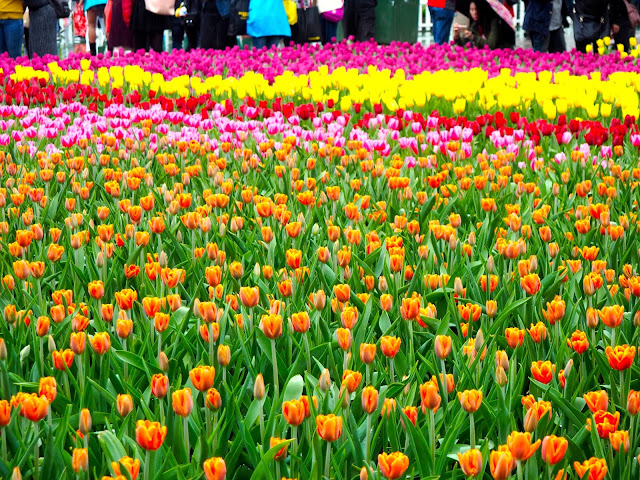 Field of tulips at Hong Kong Flower Festival 2017