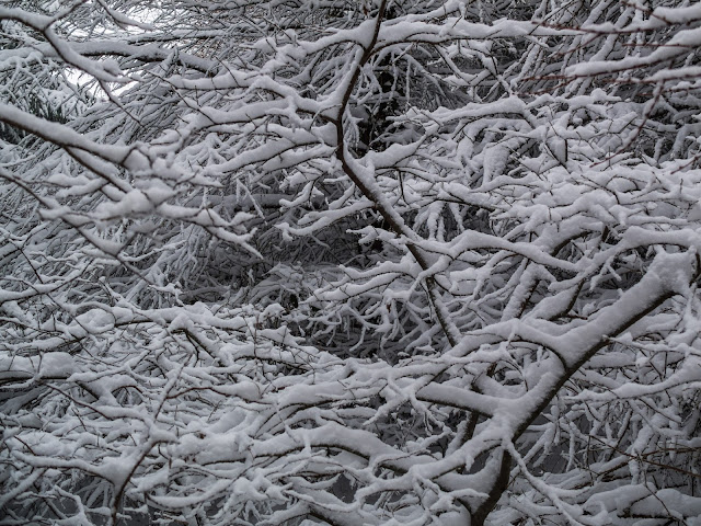 Deciduous tree branches covered in snow in a forest.