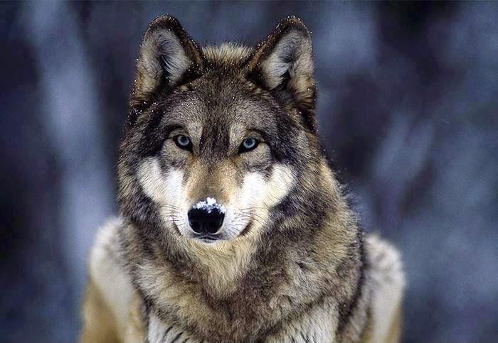O Lobo e a Lua, de Sócrates
