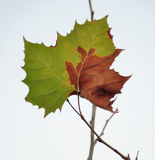 Leaf turning color in the cold season