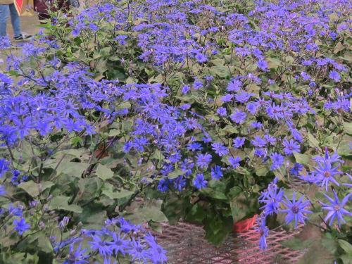 Cornflower blue Cineraria