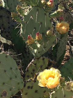 Nopales with yellow blooms