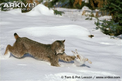 Snowshoe Hare and Canadian Lynx