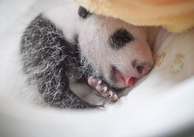 Children panda #12