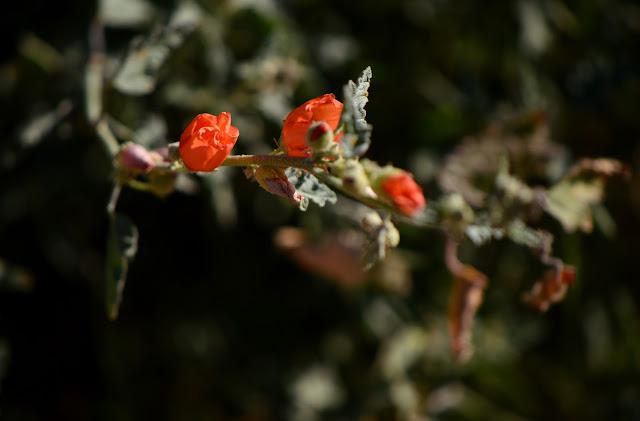 sphaeralcea ambigua, globemallow, small sunny garden, amy myers, sonoran desert, desert wildflower