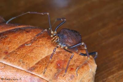 imagenes de arañas de patas largas