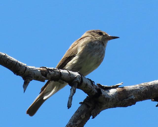 Spotted flycatcher, Via del Fagiano, Livorno